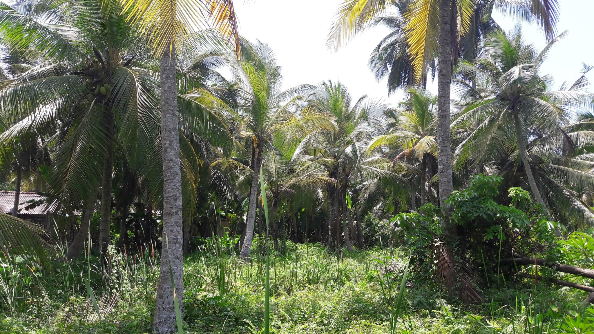 Sales Near Me >> Small coconut plantation with paddy views | Lanka Real Estate